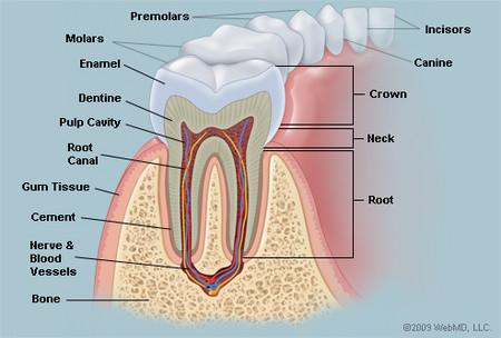 Toothanatomy_2